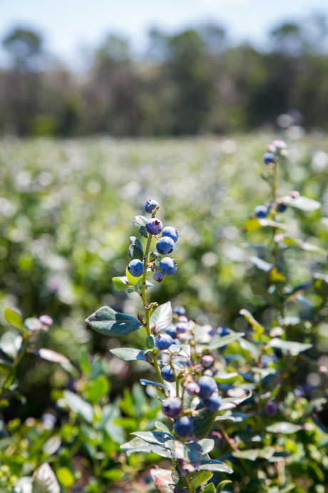 Blueberries: While blueberries have been growing wild in North America for millennia, they were only domesticated about a hundred years ago.