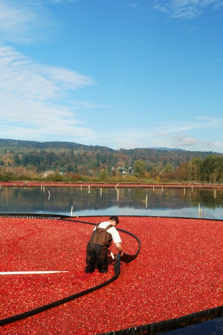 Fresh Cranberries: Most cranberries are harvested by flooding the bogs where they grow. However, cranberries that are intended to be sold fresh are dry harvested.